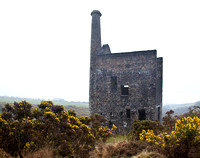 Gorse at Wheal Betsy