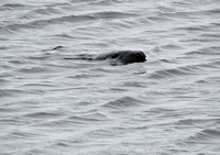 Seal, Helmsdale Harbour