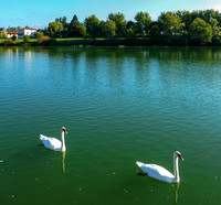 Swans on the Saone