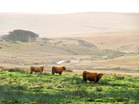Highland Cattle in the West Dart Valley